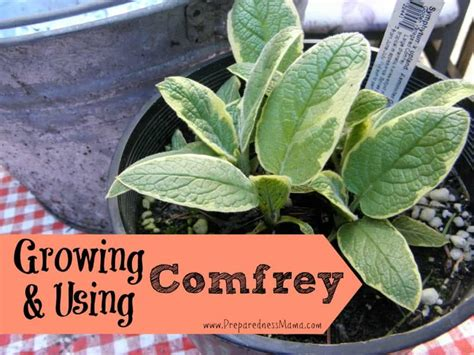 6 Fantastic Reasons for Growing and Using Comfrey