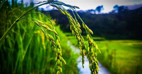 2019 Palay Performance in the Cordillera   Philippine