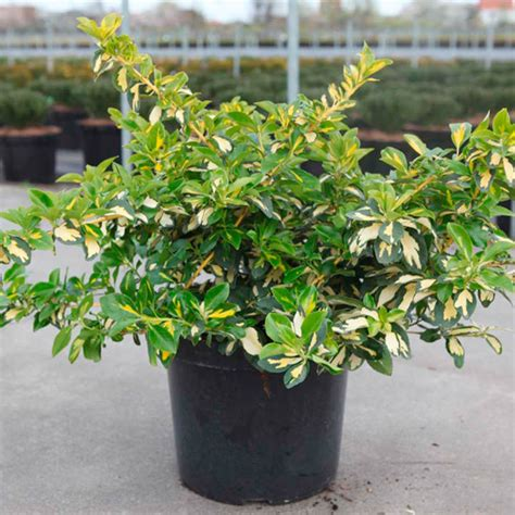 Euonymus fort