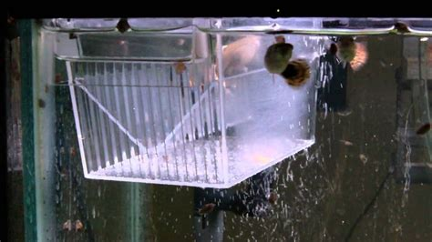 How to Breed Guppies 3 methods - YouTube