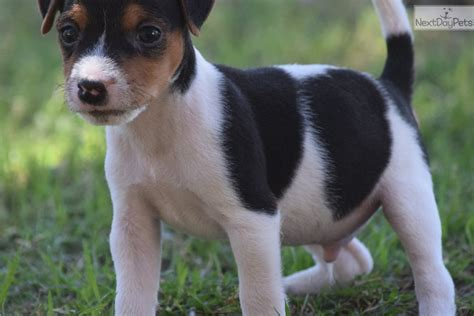 Sampson: Parson Russell Terrier puppy for sale near Inland