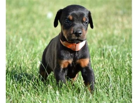 Doberman puppies for adoption to new homes - Animals